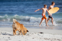 Young dog plays at the beach Stock Image