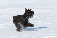 The young dog plays on snow Stock Image