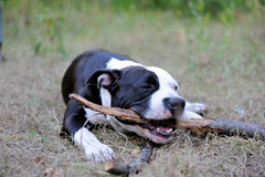 Young dog plays with stick. Young american staffordshire terrier gnaws stick Royalty Free Stock Photography