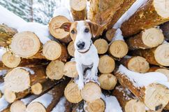 Young dog posing in winter forest against the background of firewood royalty free stock images
