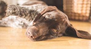 Young dog puppy lying on floor. Morningtime Stock Photo