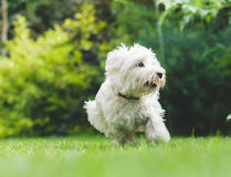 Young dog puppy of West Highland Terrier playing on green grass. West Highland White Terrier running on a lawn Royalty Free Stock Images