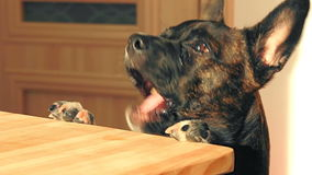 Young dog is reaches a leftover on the kitchen table and eating it with a happy expression on its face stock video