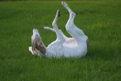 Young dog rolling in grass. Greyhound puppy playing in grass royalty free stock image