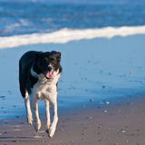 Young dog running on the beach. Near the waves Royalty Free Stock Photos