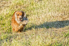Young dog running on the grass stock photography