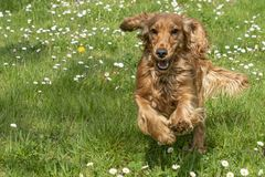 Young dog running on the grass. Puppy cocker spaniel dog running on the grass royalty free stock photography