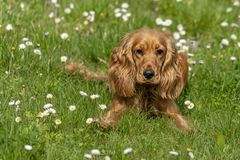 Young dog running on the grass royalty free stock images