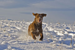 Young Dog running on snow Stock Photo