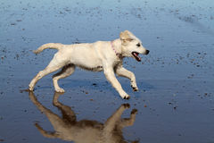 Young dog running. Stock Photo