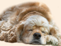 Young dog sleeping royalty free stock image