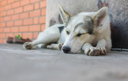 Young dog sleeping on a threshold Royalty Free Stock Image