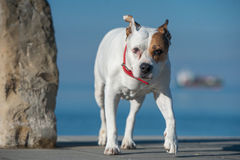 Young dog. Standing in front of the sea Royalty Free Stock Image