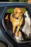 Young dog standing on guard in back end of a car. Young red dog standing on guard in back end of a car with door open Royalty Free Stock Photography