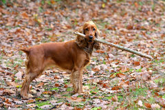 Young dog with a stick Royalty Free Stock Photos
