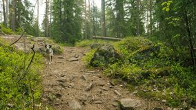 Dog waiting in finnish forest on a path stock photo