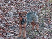 A young dog on a walk in the forest. A young dog in the forest during a walk. It has black and brown hair, bleached ears, and a white tie in front. He has wet stock images