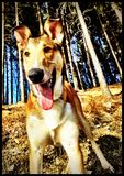 Smooth collie pup royalty free stock photos