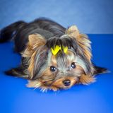 Young Dog Yorkshire Terrier lying Stock Photography