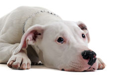 Young  dogo argentino Stock Photography