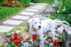 Young dogo argentino in the garden Royalty Free Stock Image