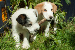 Young dogs with a stick. Two young dogs with a stick Royalty Free Stock Image
