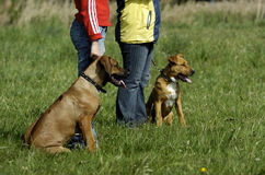 Young dogs at training Royalty Free Stock Photography