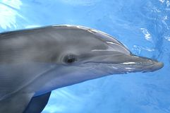 Young Dolphin Royalty Free Stock Image