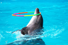 A young dolphin playing in the blue water with a hoop Stock Photo
