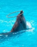 A young dolphin playing in the  water with a hoop Stock Images