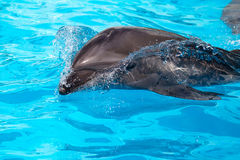 A young dolphin swims Stock Image