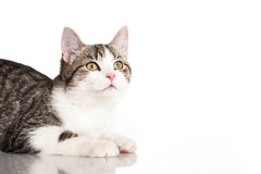 Young domestic cat Royalty Free Stock Photography