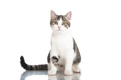 Young domestic cat Royalty Free Stock Images