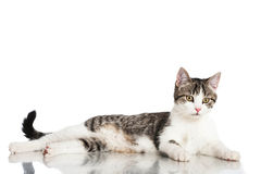 Young domestic cat Royalty Free Stock Image