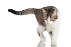 Young domestic cat Stock Photos