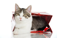 Young domestic cat Stock Photography