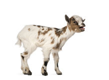 Young domestic goat bleating, kid, isolated Stock Image