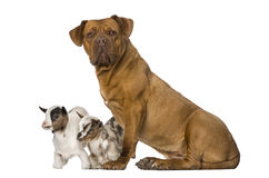 Young domestic goat and a Dogue de Bordeaux Stock Images