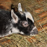 Young Domestic Goat Stock Image