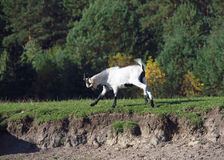 Young domestic goat hurries Stock Image