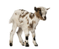 Young domestic goat, kid, isolated Royalty Free Stock Image