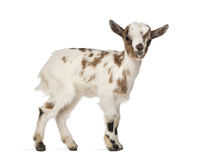 Young domestic goat, kid, isolated. On white stock photography