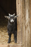 Young domestic goat Royalty Free Stock Images