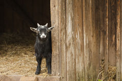 Young domestic goat Stock Photography