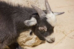 Young domestic goat Royalty Free Stock Photos