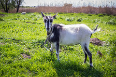 Young domestic goat on a pasture Stock Photography