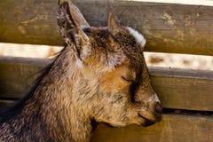 Young domestic goat sleeping Stock Photo