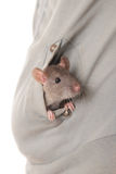 Young domestic rat Royalty Free Stock Photography
