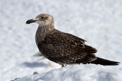 Young Dominican gull of snow in Antarctica Stock Photos