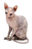 Young Don Sphynx. On white background Stock Images